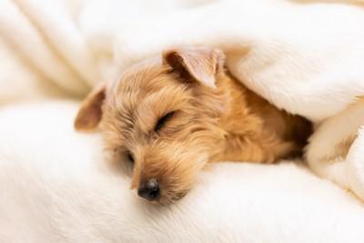 布団に包まって眠る犬