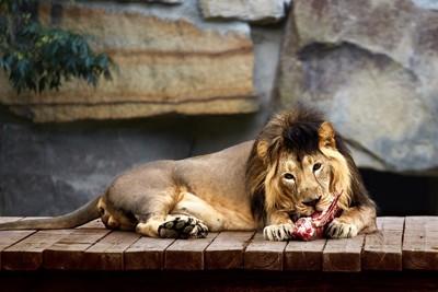 肉を食べるライオン