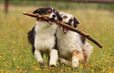 木の棒で遊ぶ2匹の子犬