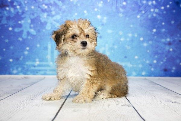 雪柄を背景に何かを見つめるヨープーの子犬
