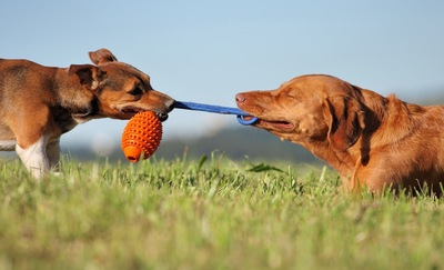 おもちゃを引っ張り合う二頭の犬