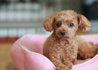 犬用ベッドの中から見つめるトイプー