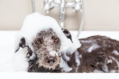 シャンプー中に泡を頭に乗せた犬