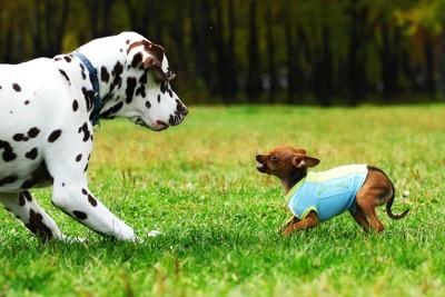 ダルメシアンを怖がる小さな犬