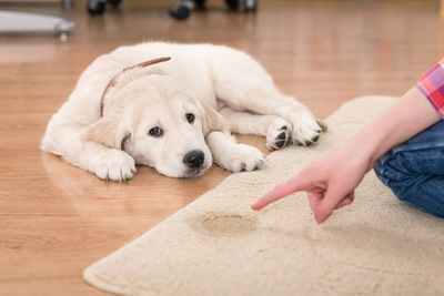 犬の粗相を叱る女性