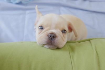 こちらを見つめる白いフレンチブルの仔犬