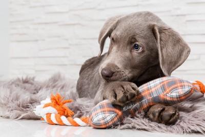 玩具を抱く犬