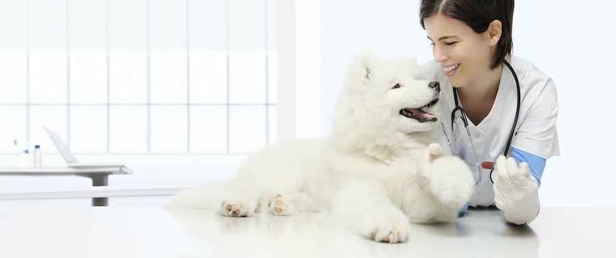 笑顔の獣医さんと見つめ合う白い犬