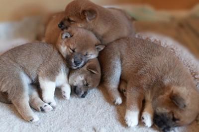眠る柴犬の子犬たち