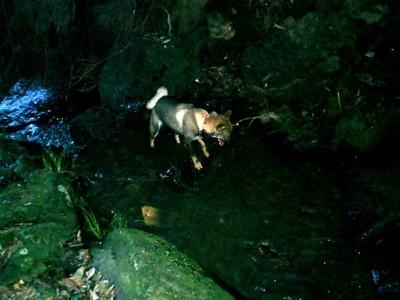 川で泳いでいる四国犬