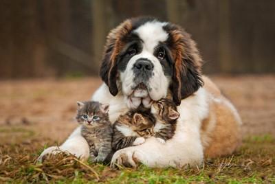 セントバーナードと子猫たち