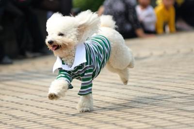 服を着て走る白い犬