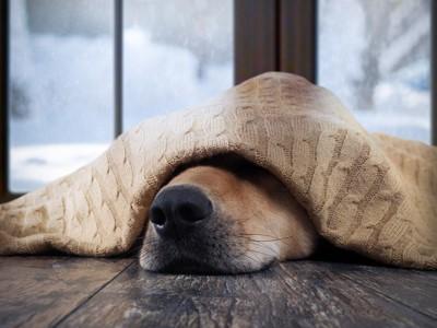 毛布をかぶって寒さをしのぐ犬