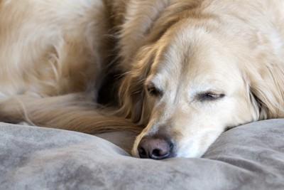 寝ている大型犬