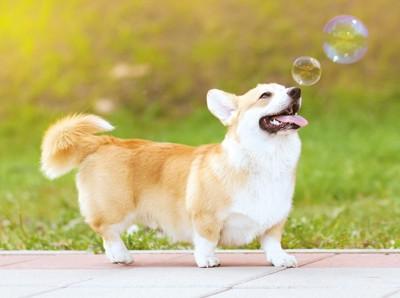 シャボン玉を見上げているコーギー犬