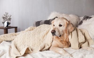 ベッドで休んでいる犬