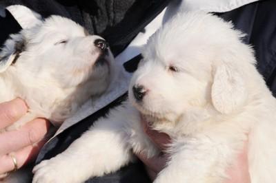 抱かれているグレートピレニーズの子犬
