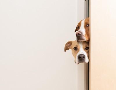 隙間から顔だけ出す二頭の犬