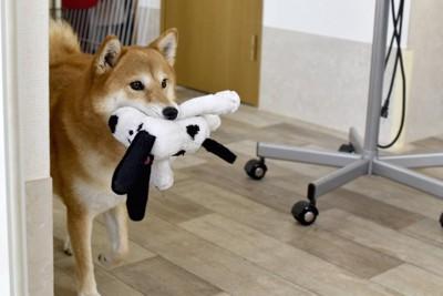 ぬいぐるみを咥えて部屋を歩く犬