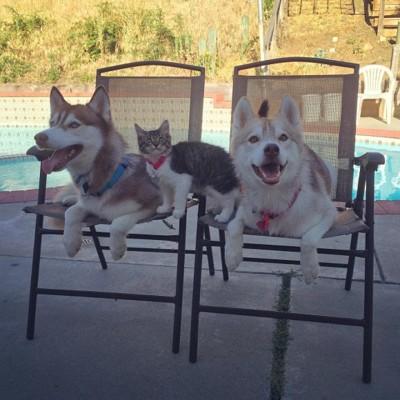 椅子に座るハスキー達と子猫
