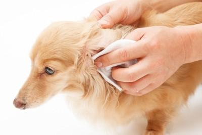 犬の耳の中を拭き取っている
