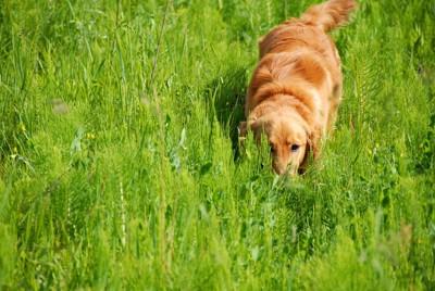 草に隠れる犬