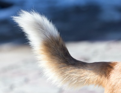 犬の尻尾アップ