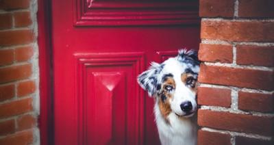 玄関の隙間からこちらを見る犬