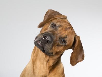 首を傾げる犬