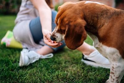 飼い主の手からおやつを食べている犬
