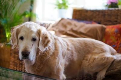 ソファーに足をかけるゴールデンレトリバー