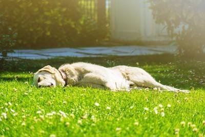 芝生で眠る犬