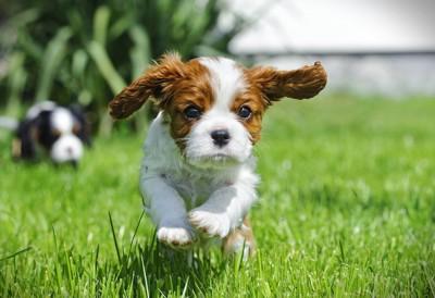 芝生を走るキャバリアのパピー