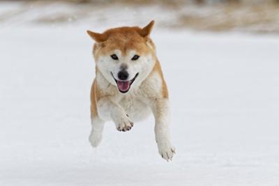 雪の中で遊ぶ柴犬