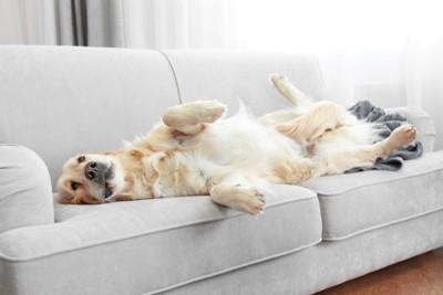 ソファーで寛ぐゴールデンレトリーバー
