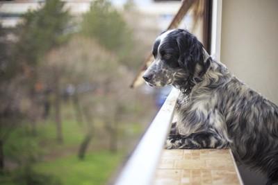 ベランダから身を乗り出して外を見る犬