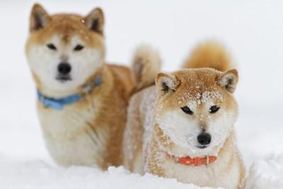 雪の中を歩く2匹の犬