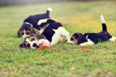 一緒に芝生で遊ぶ子犬たち