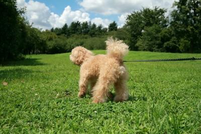 公園の芝生で遊ぶトイプードル