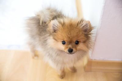 ジッと見上げているポメラニアンの子犬