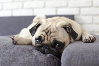 ソファーに手を開いて伏せるパグ