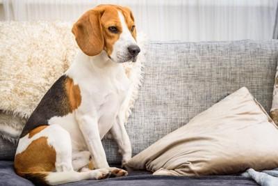 ソファーに座るビーグル犬