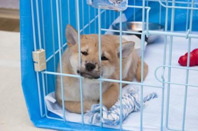 青いシートで覆われたケージでくつろぐ柴犬の子犬