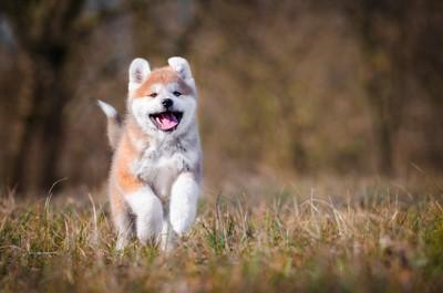笑顔で走って来る秋田犬の子犬