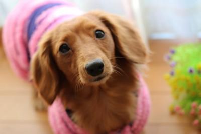 エリザベスカラーを付けてる犬