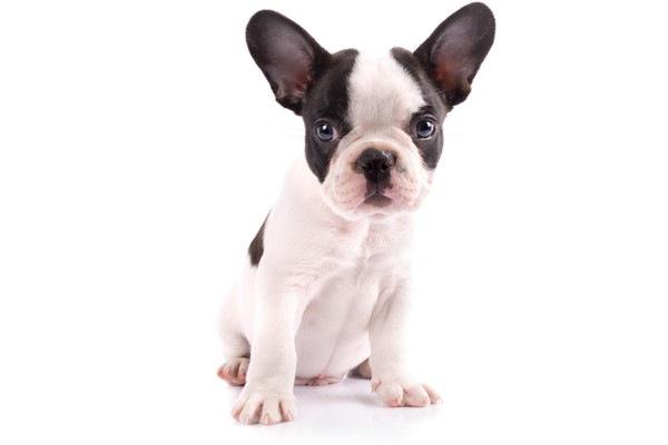 子犬のフレンチブルドッグ