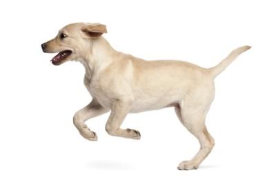 警戒に跳ね走る犬