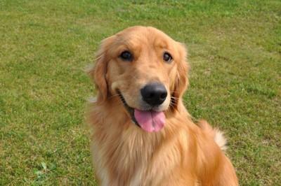 笑顔のゴールデンレトリーバー