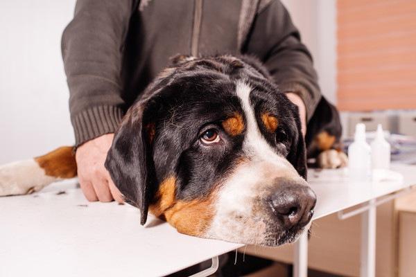 病院内の伏せる犬