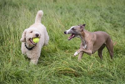 ボールで遊ぶ2匹の犬